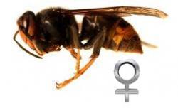 frelon-femelle.jpg