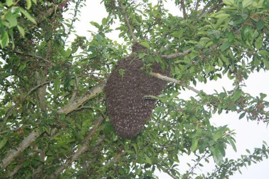 essaim d'abeille en 2009
