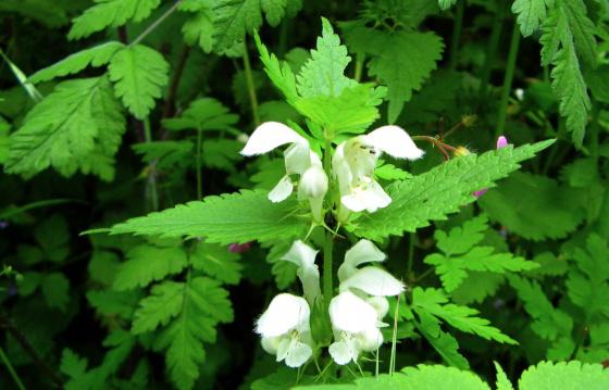 Dossier : L'ortie un véritable cadeau de la nature Ortie-blanche-04